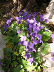 Violets ~ March 14