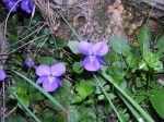 Violets ~ March 12