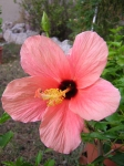 Hibiscus ~ July 29