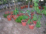 Chilies & Eggplants ~ August 10