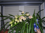 Cymbidium Orchid ~ February 24 - 2008