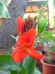 The Red Canna Tropicana is beginning to bloom! ~ Sep. 4