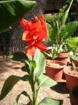 The Red Canna Tropicana is blooming  ~ Sep. 5