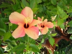 Hibiscus, usually salmon color, turned lighter and variegated, probably due to cold weather. ~ Sep.28