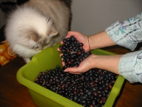 Bubi supervising my olives crop