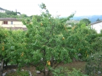 It sure doesn't look like it, but this tree is loaded with roughly 1500 apricots, as I found out during the following d