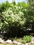 Whatchamacallit flowering bush